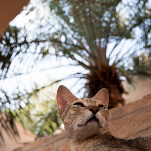 muscat oman cat